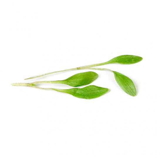 Coriandru muguri liofilizat (4g), Sosa